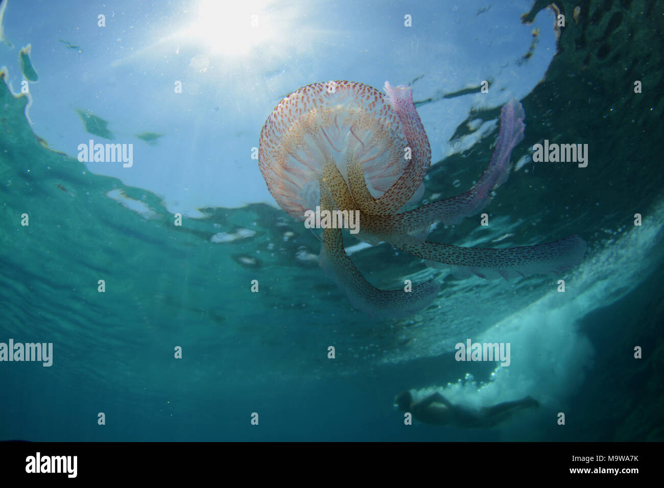 Mauve jellyfish underwater and person diving from cliffs, Menorca - Stock Image