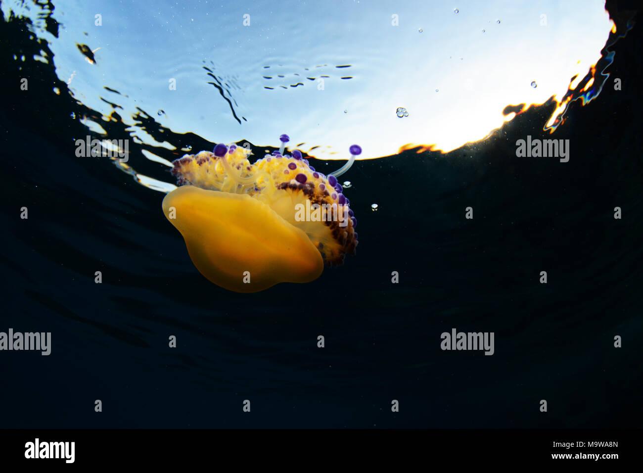 Mediterranean jelly or fried egg jellyfish at Cala Blanca, Menorca - Stock Image