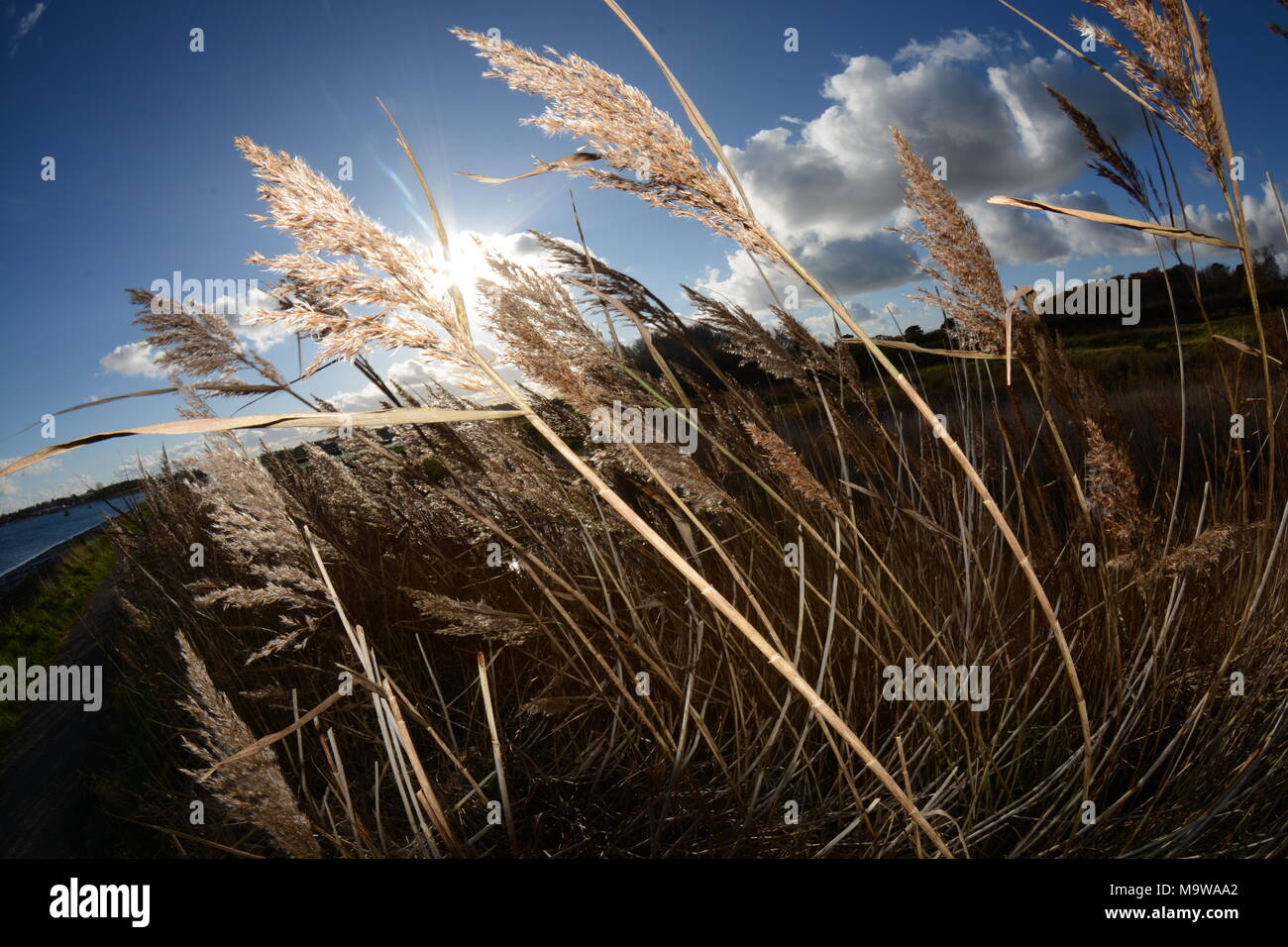 Reeds at Cobnor Point, Chichester Harbour - Stock Image