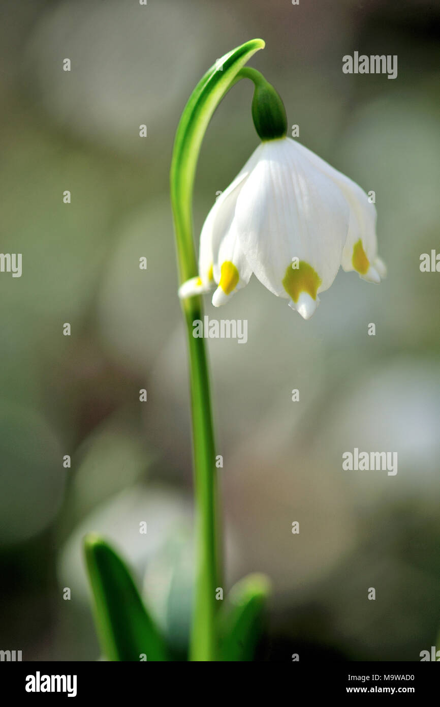snowdrop Galanthus elwesii late winter early Spring flower bulb February white garden plant - Stock Image