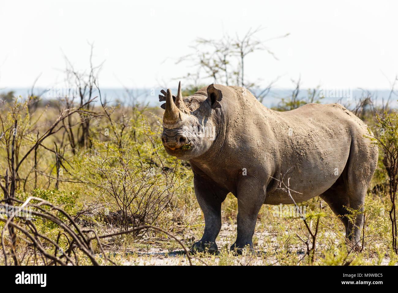 white rhinoceros, Ceratotherium simum, Etosha Nationalpark, Namibia - Stock Image