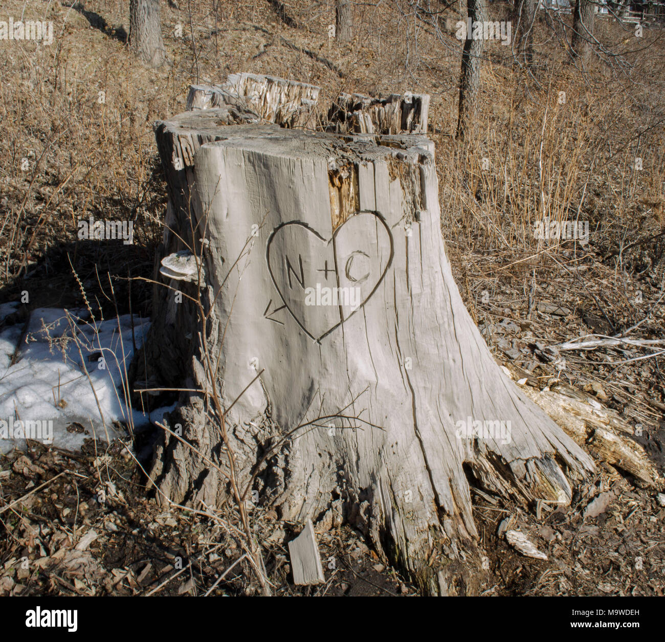 Dead Stump with N+C Carved into it - Stock Image