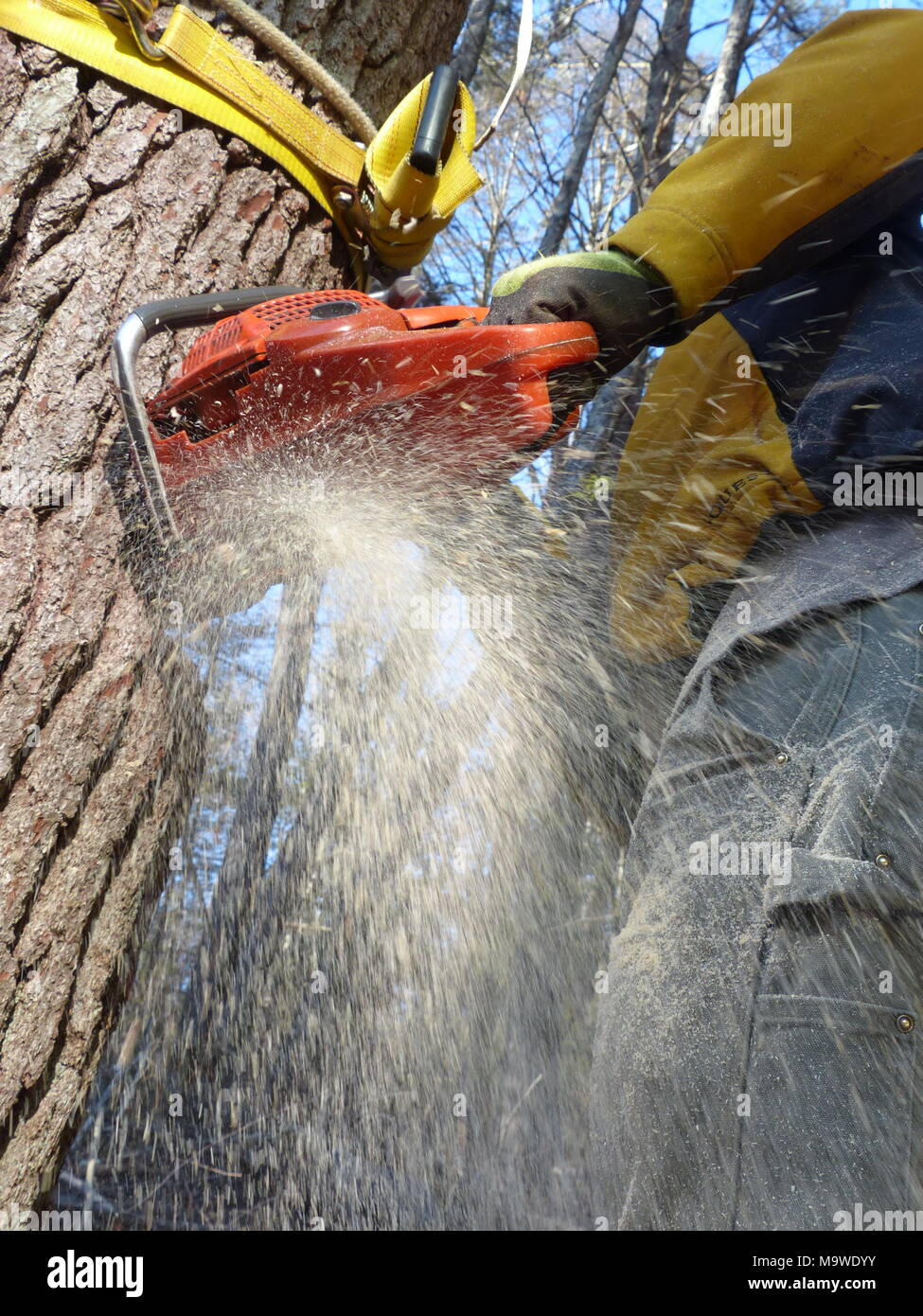 Lumberjack cutting down pine tree in Woodstock, NY - Stock Image