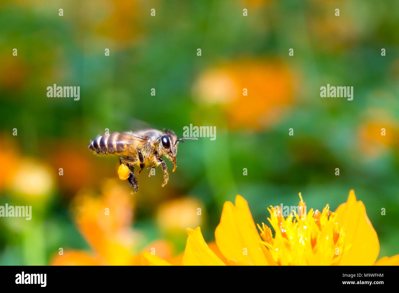 Flying bee hunting syrup in the garden - Stock Image