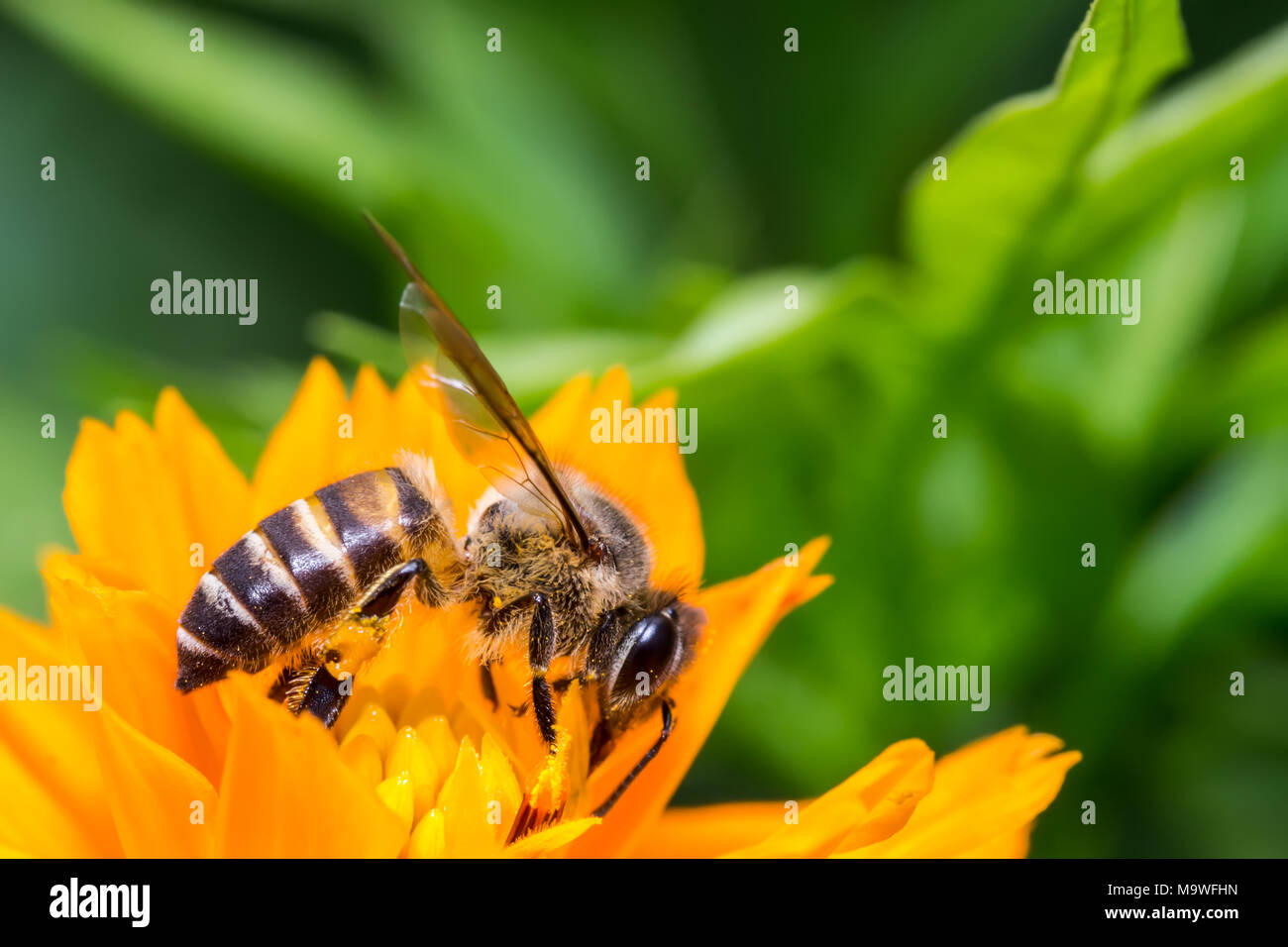 Bee sucking the Yellow Cosmos's syrup in the garden - Stock Image