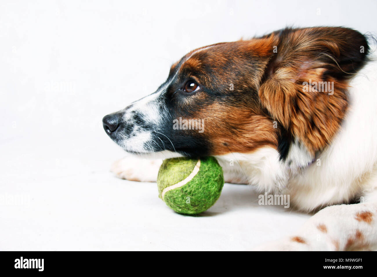 A cute looking dog puts his chin on a tennis ball, close up picture - Stock Image