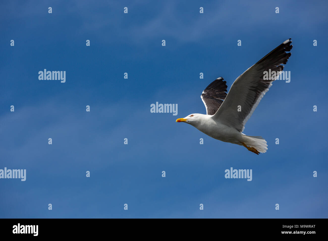 A seagull, with orange beak on the way in the blue sky - Stock Image