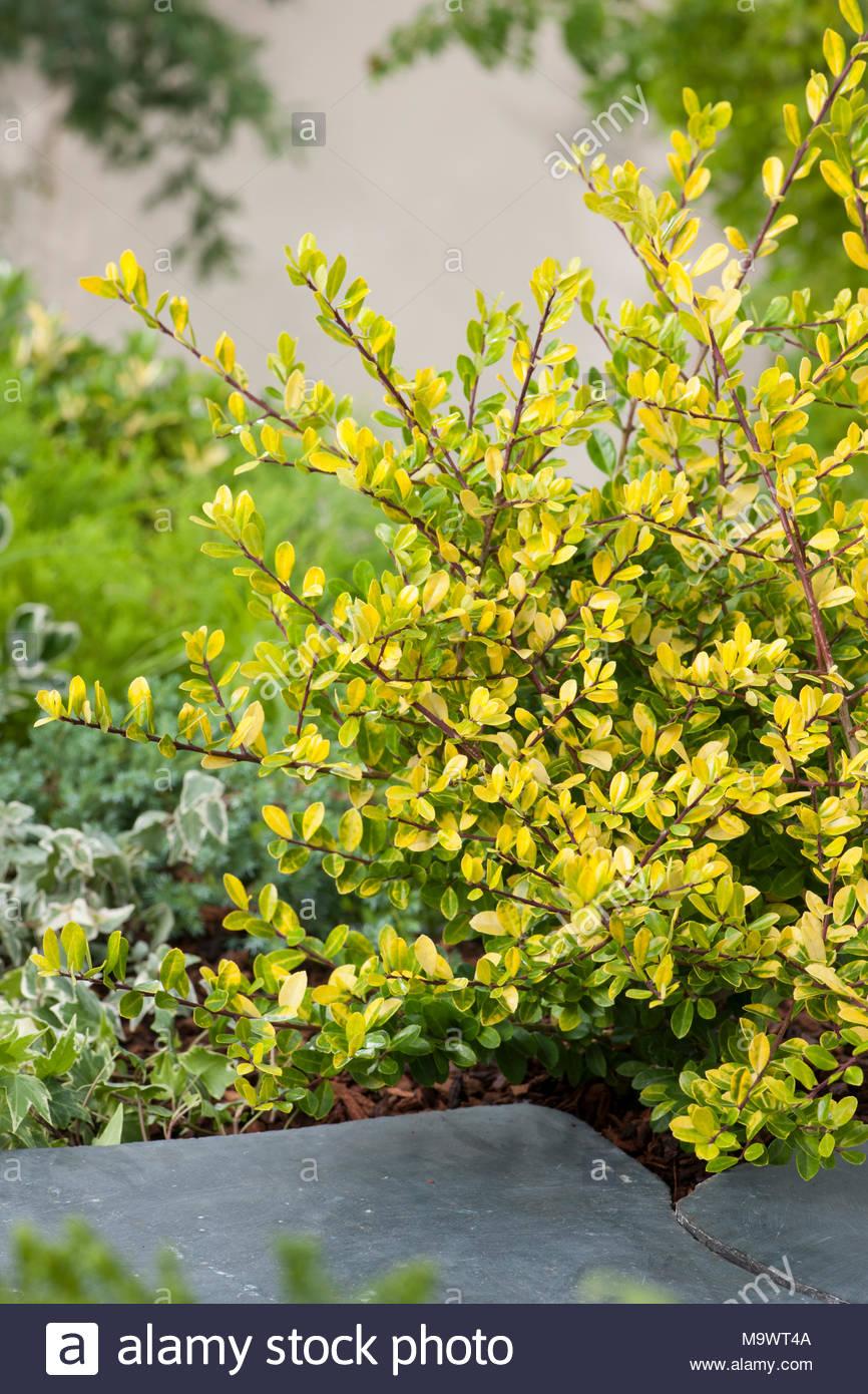 Ilex Crenata Golden Gem Stock Photos & Ilex Crenata Golden Gem Stock ...