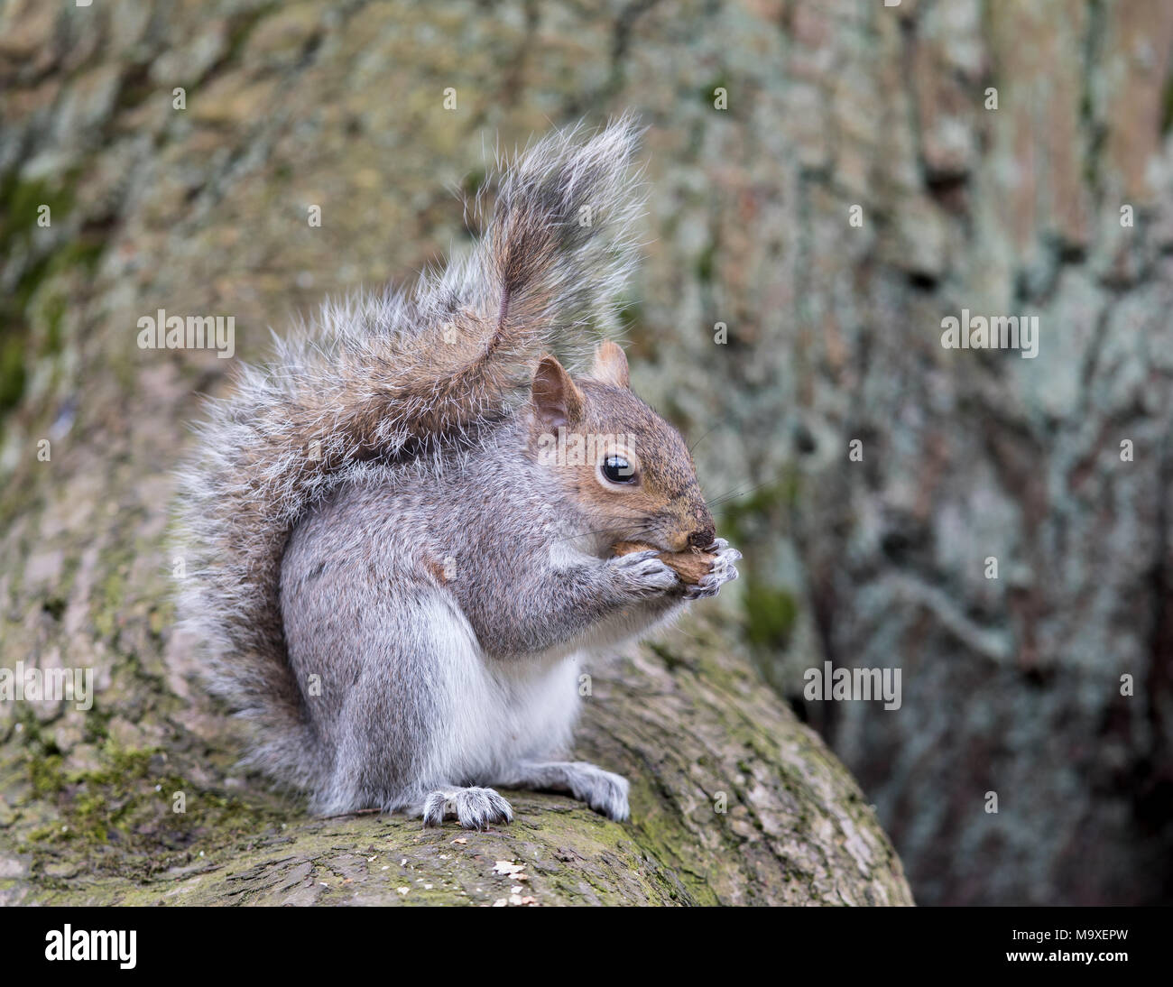 Squirrel eating nut in a tree / Sciuridae / Squirrel with nut - Stock Image