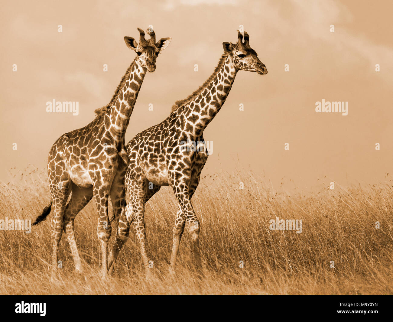 Giraffes in Savannah - Stock Image