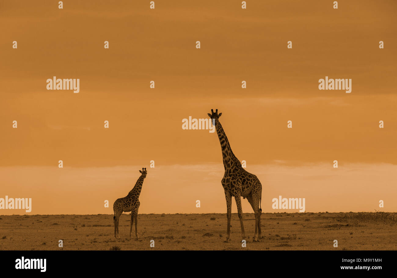 African Giraffes in Savannah - Stock Image