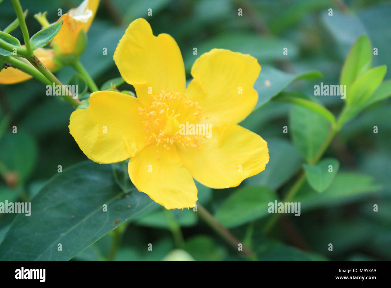 Vertical Butter Cup Flowers Yellow Stock Photo 178230929 Alamy