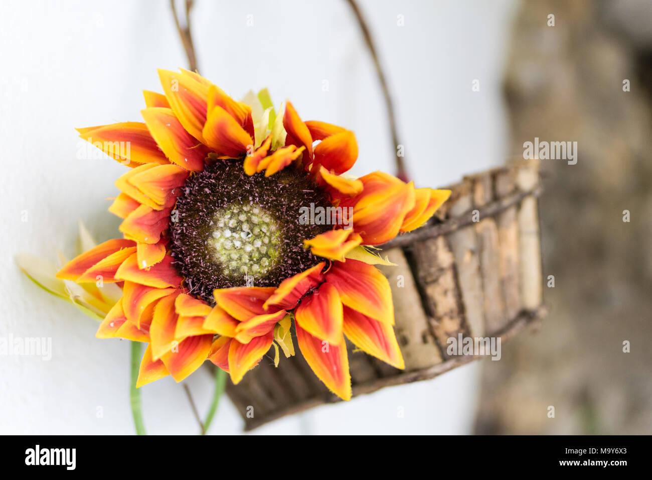 Sunflower in Basket - Stock Image