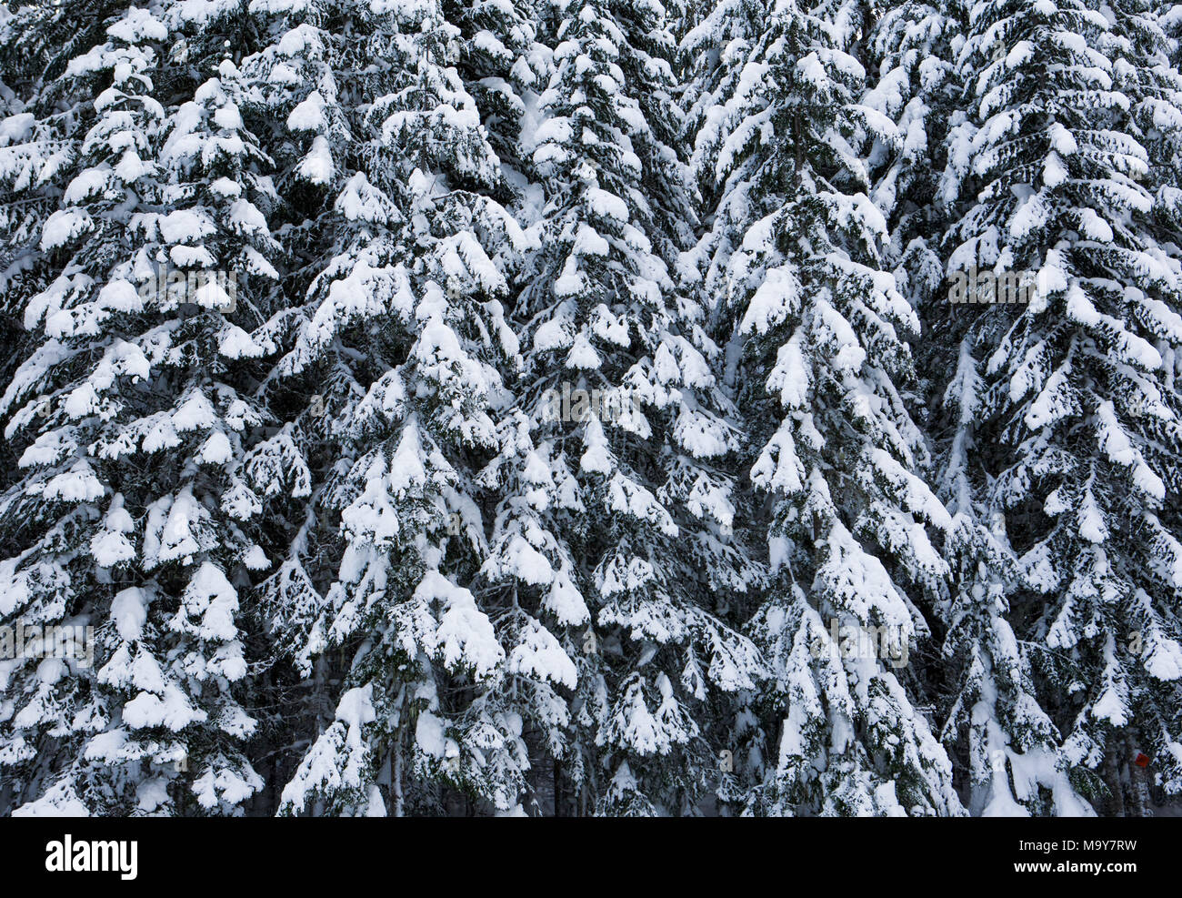 Snow covered coniferous trees on the East slopes of the Cascade Mountains in Washington State - Stock Image