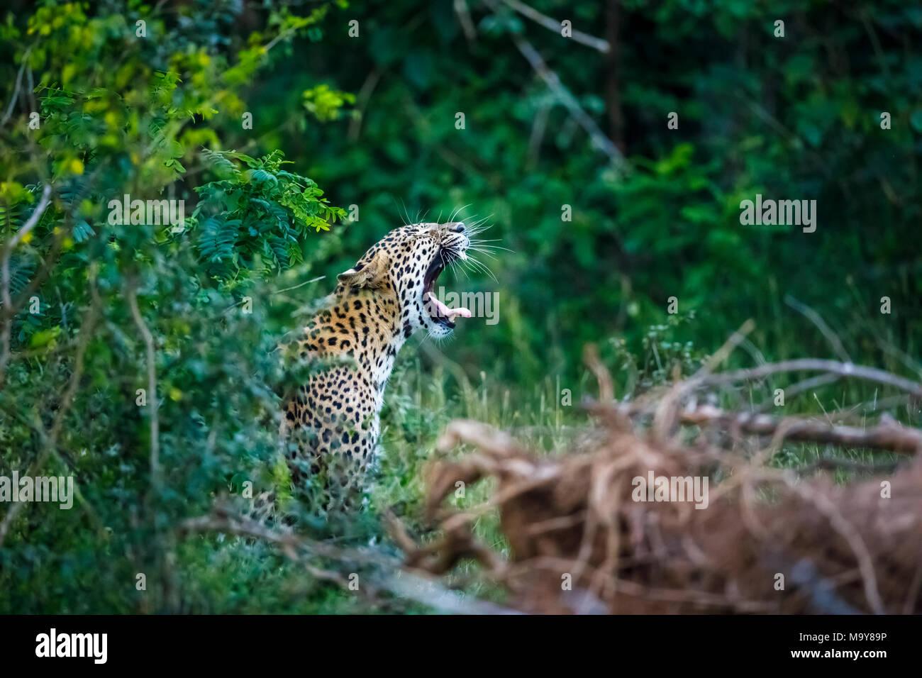 Female leopard (Panthera pardus) in green jungle woodland yawning with tongue out, Kumana National Park, Eastern Province, Sri Lanka - Stock Image