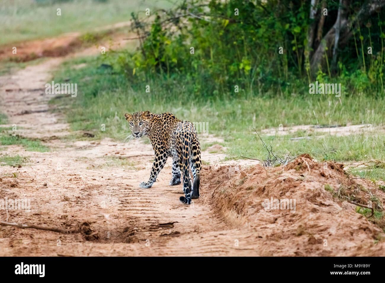 Female leopard (Panthera pardus) standing on a track looking back, Kumana National Park, Eastern Province, Sri Lanka - Stock Image