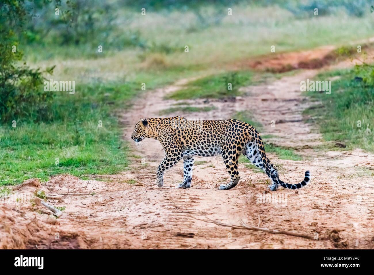 Female leopard (Panthera pardus) walking across a track looking back, Kumana National Park, Eastern Province, Sri Lanka - Stock Image