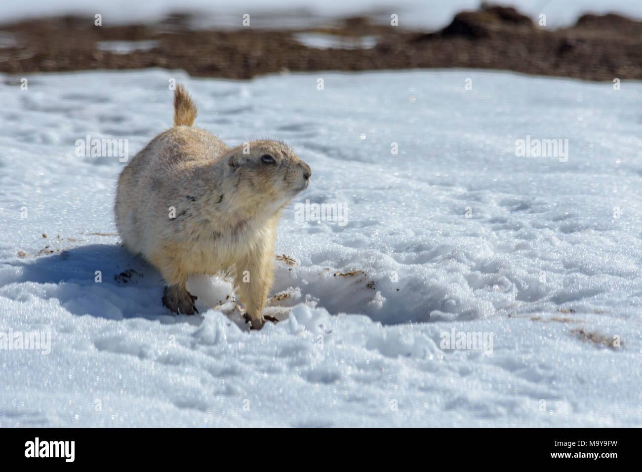 Gunnison's prairie dog (Cynomys gunnisoni) in winter, Castle Rock Colorado US. - Stock Image
