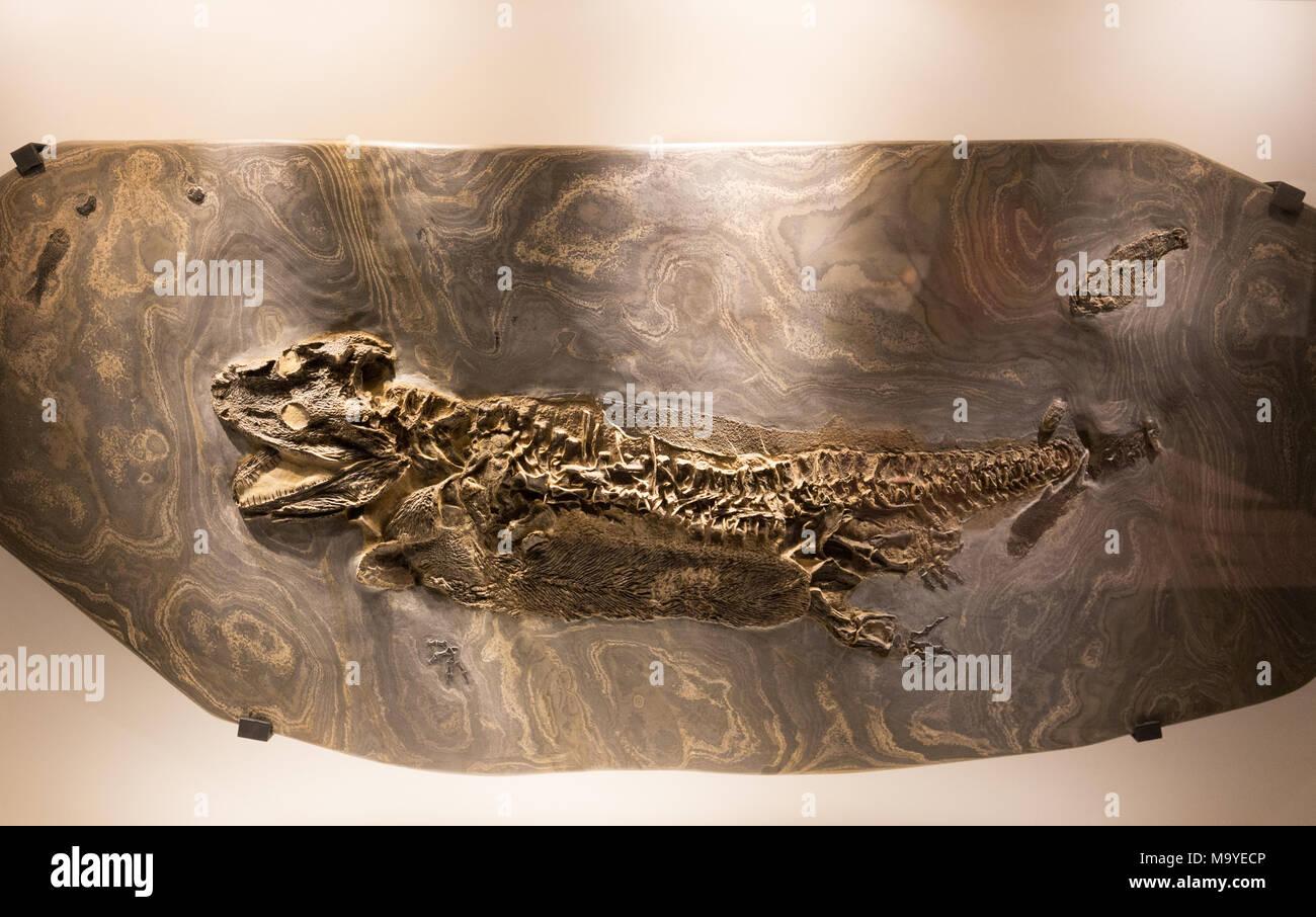 Archegosaur fossil, Houston Museum of Natural Science, Houston, Texas USA - Stock Image