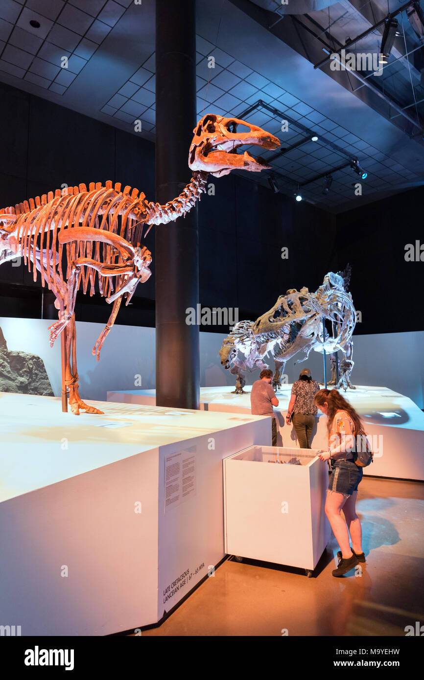 People looking at dinosaur fossils, Houston Museum of Natural Science, Houston, Texas USA - Stock Image