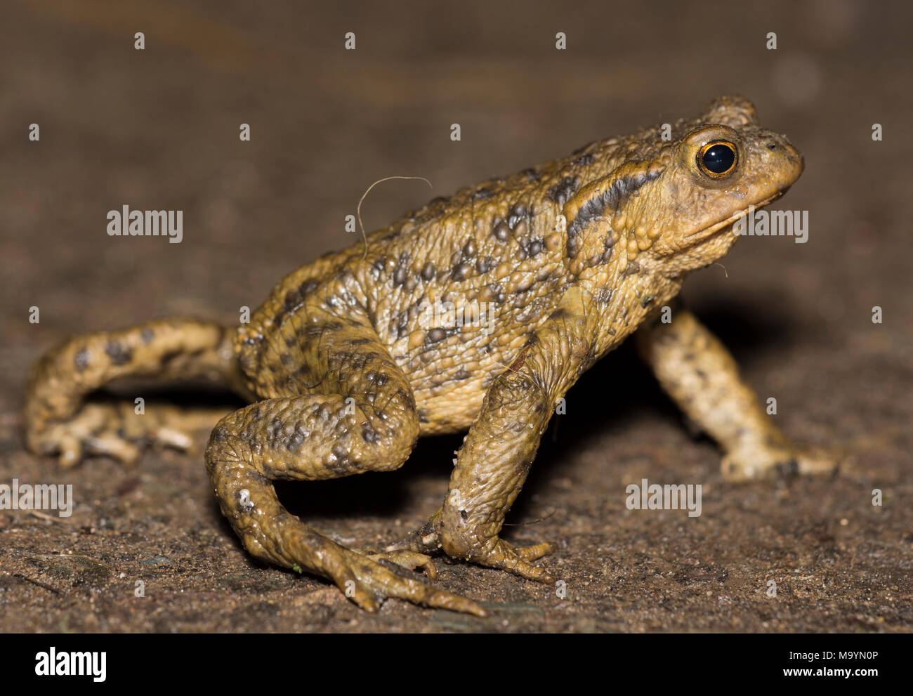 Male European Common Toad (Bufo bufo) on the crawl on a rainy night in Yorkshire Northern England. Stock Photo