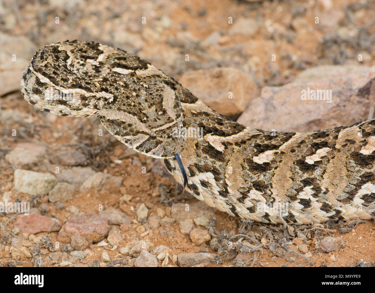 Puff Adder (Bitis arietans) in Morocco North Africa. - Stock Image