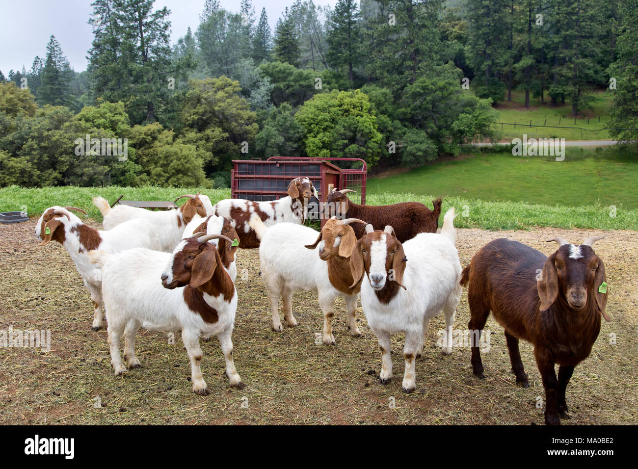 Female Boer Goats  'Capra aegagrus hircus' gathered in area adjoining the barn, waiting to be fed, green pasture. - Stock Image