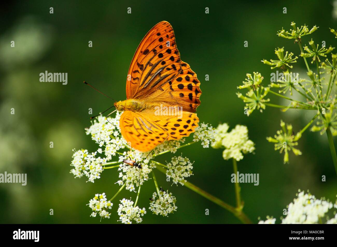 A beautiful butterfly on flower - Stock Image