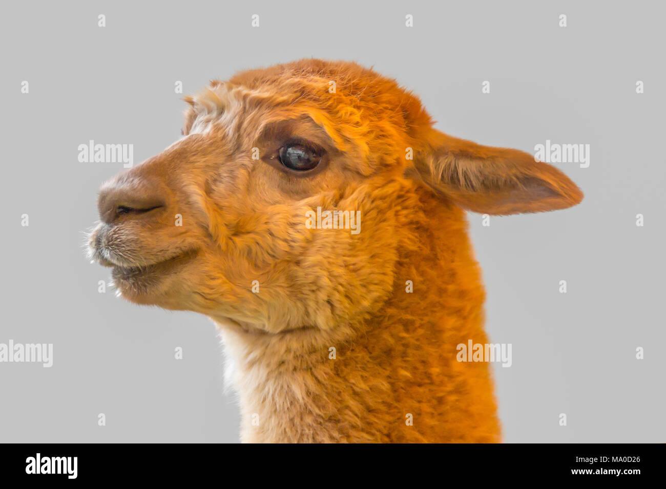 portrait of a Alpaca in grey back - Stock Image