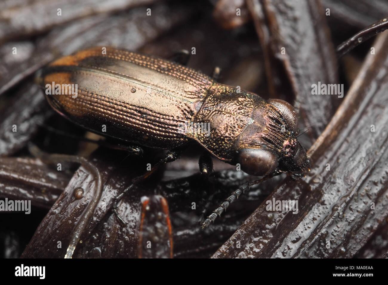 Ground Beetle (Notiophilus biguttatus) on bare groung in woodland. - Stock Image