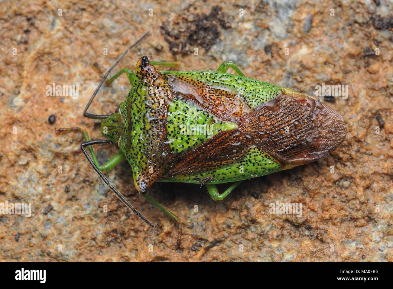Hawthorn Shieldbug (Acanthosoma haemorrhoidale) hibernating under the cap of a stone wall. Tipperary, Ireland - Stock Image