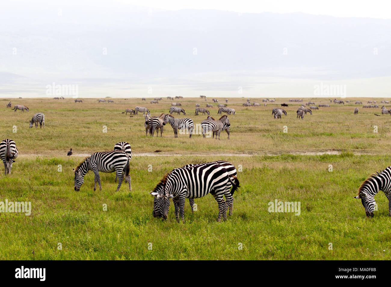 African Zebra Herd with Heads Down on Green Grassland - Stock Image