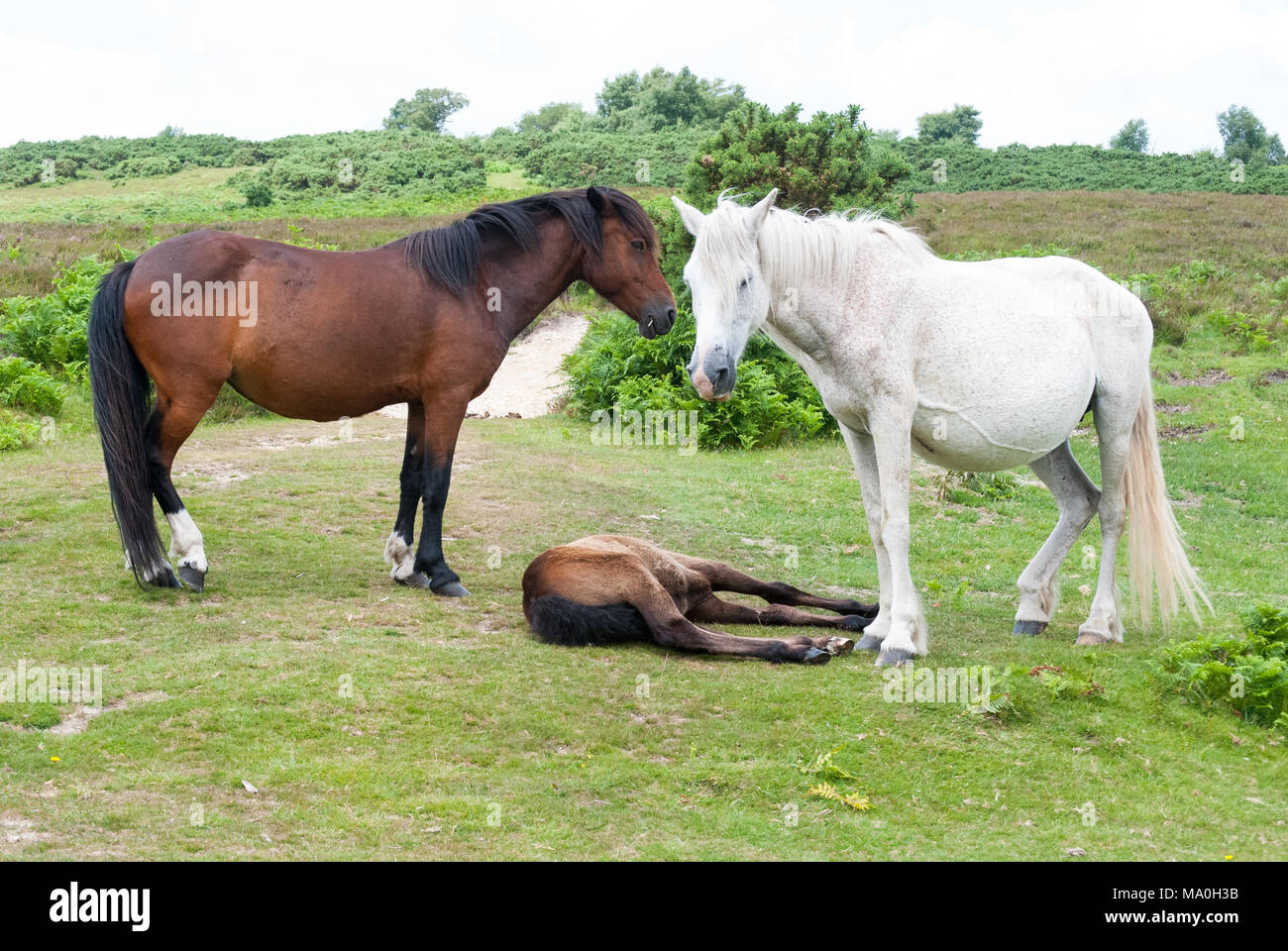 Two New Forest adult ponies, one brown, one white, stand over foal lying down on the grass in the New Forest national park, Hampshire, England, UK - Stock Image