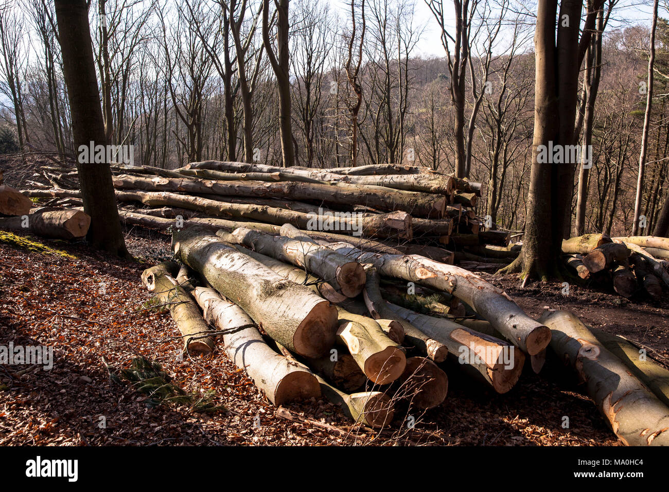Germany, felled and stacked beech trees in the Ardey mountains near the city of Wetter.  Deutschland, Ruhrgebiet, gefaellte und gestapelte Buchenstaem Stock Photo