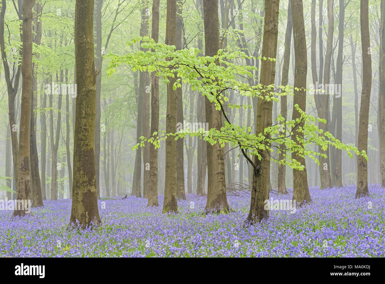 1st of May in a misty Bluebell filled Hampshire wood, the new green leaves on the low bough of a foreground Beech tree give the woodland a fresh feeli Stock Photo