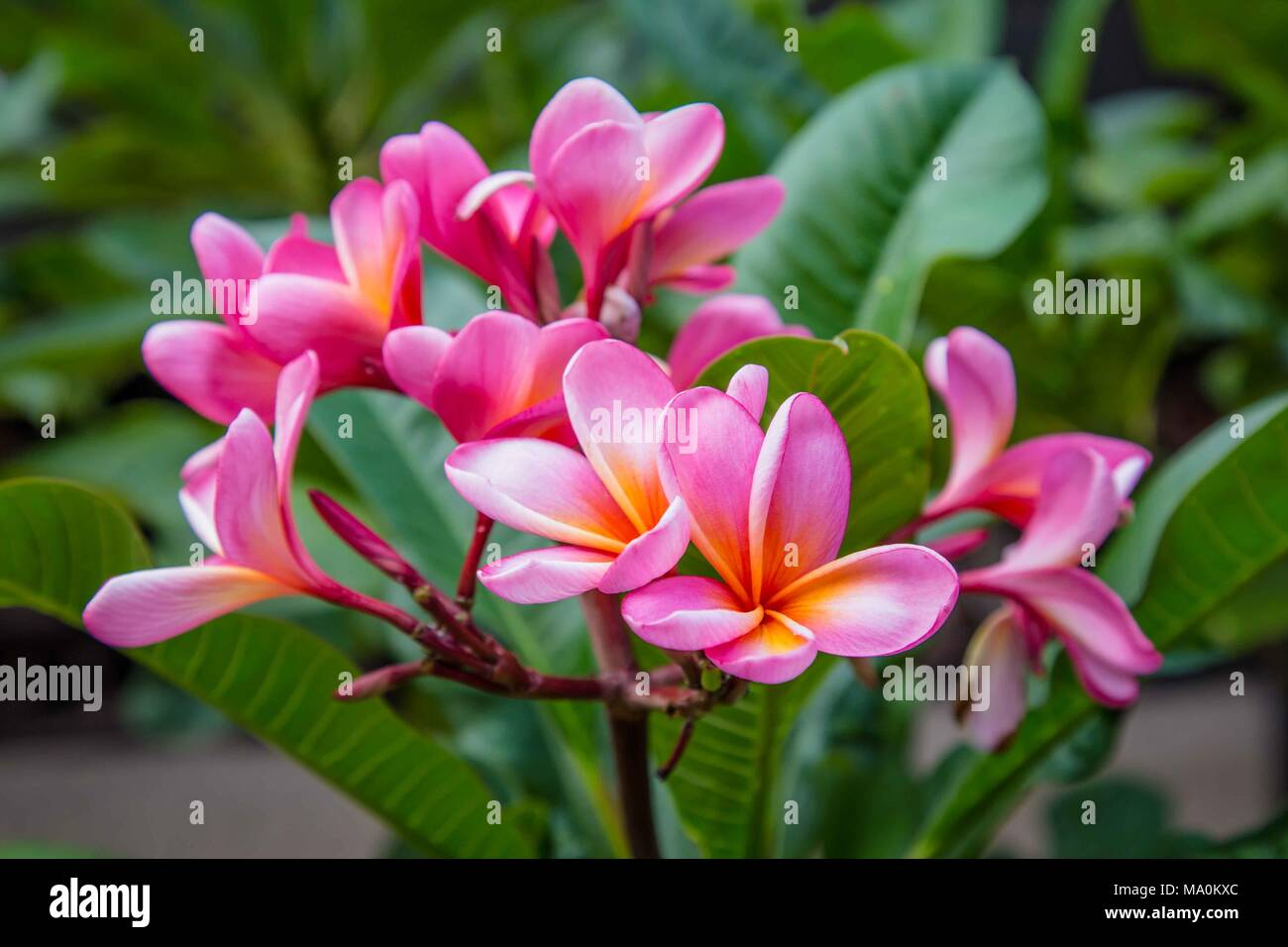 Pink champa flowers in Indonesia - Stock Image