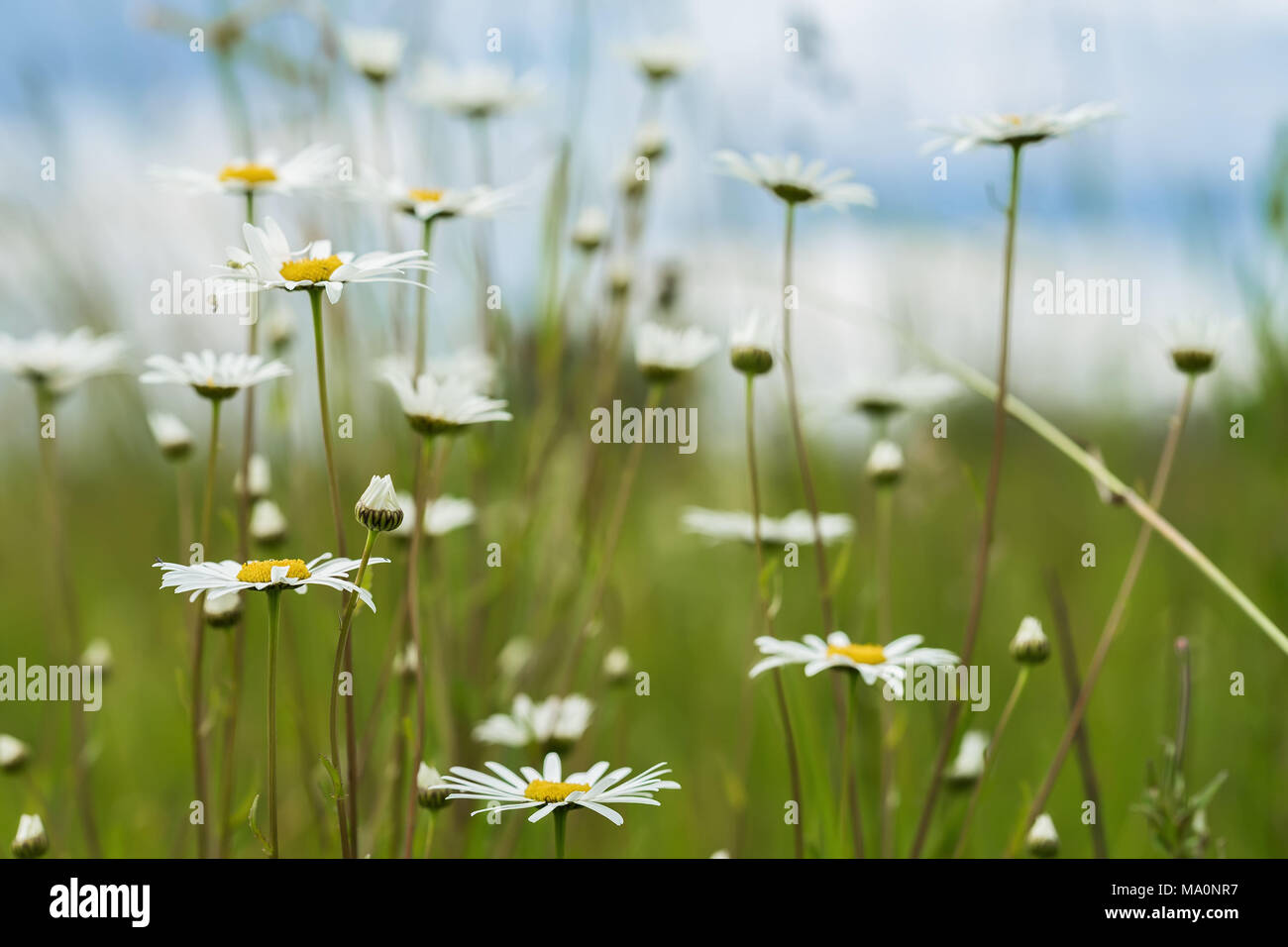 Summer natural background, ecology, green planet concept: Beautiful blooming wild flowers of white camomiles against dark blue sky and meadow in the summer - Stock Image