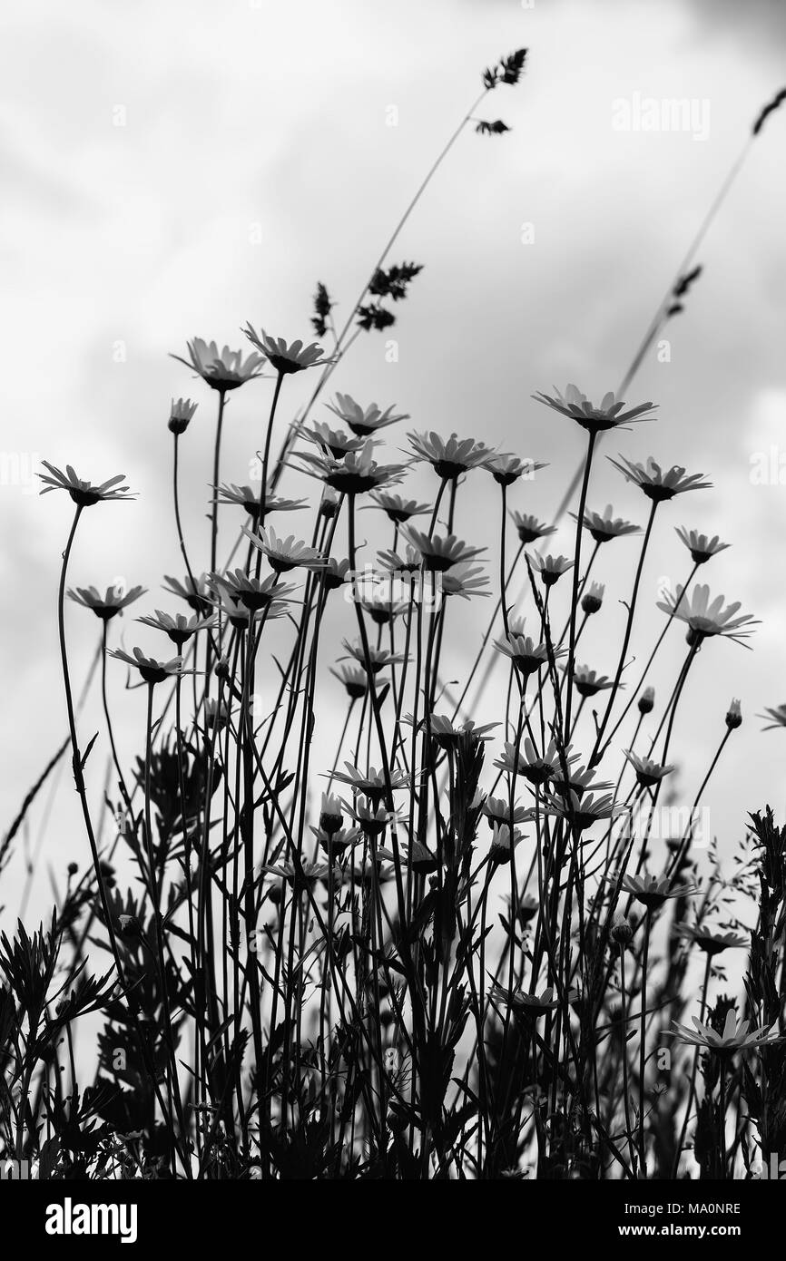 Black-and-white image of summer windy day after rain, gloomy sky. Beautiful white camomiles against dark blue sky with clouds, view from below. Concept of seasons, ecology, green planet - Stock Image