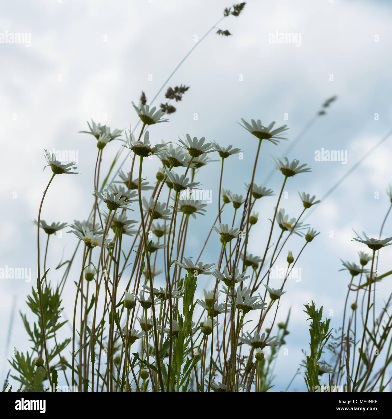 Windy day after the rain, gloomy sky. Beautiful white daisies against dark blue sky with clouds, view from below. Concept of seasons, ecology, green planet - Stock Image