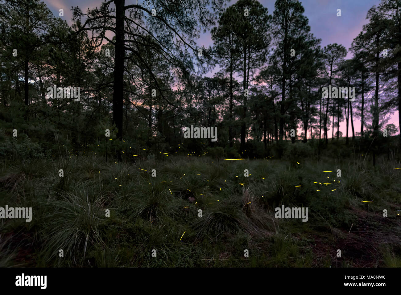 Fireflies during mating event - Stock Image
