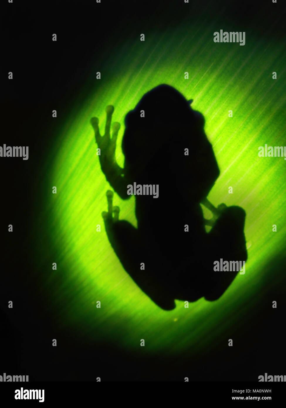 backlighting rainforest frog silhouette - Stock Image