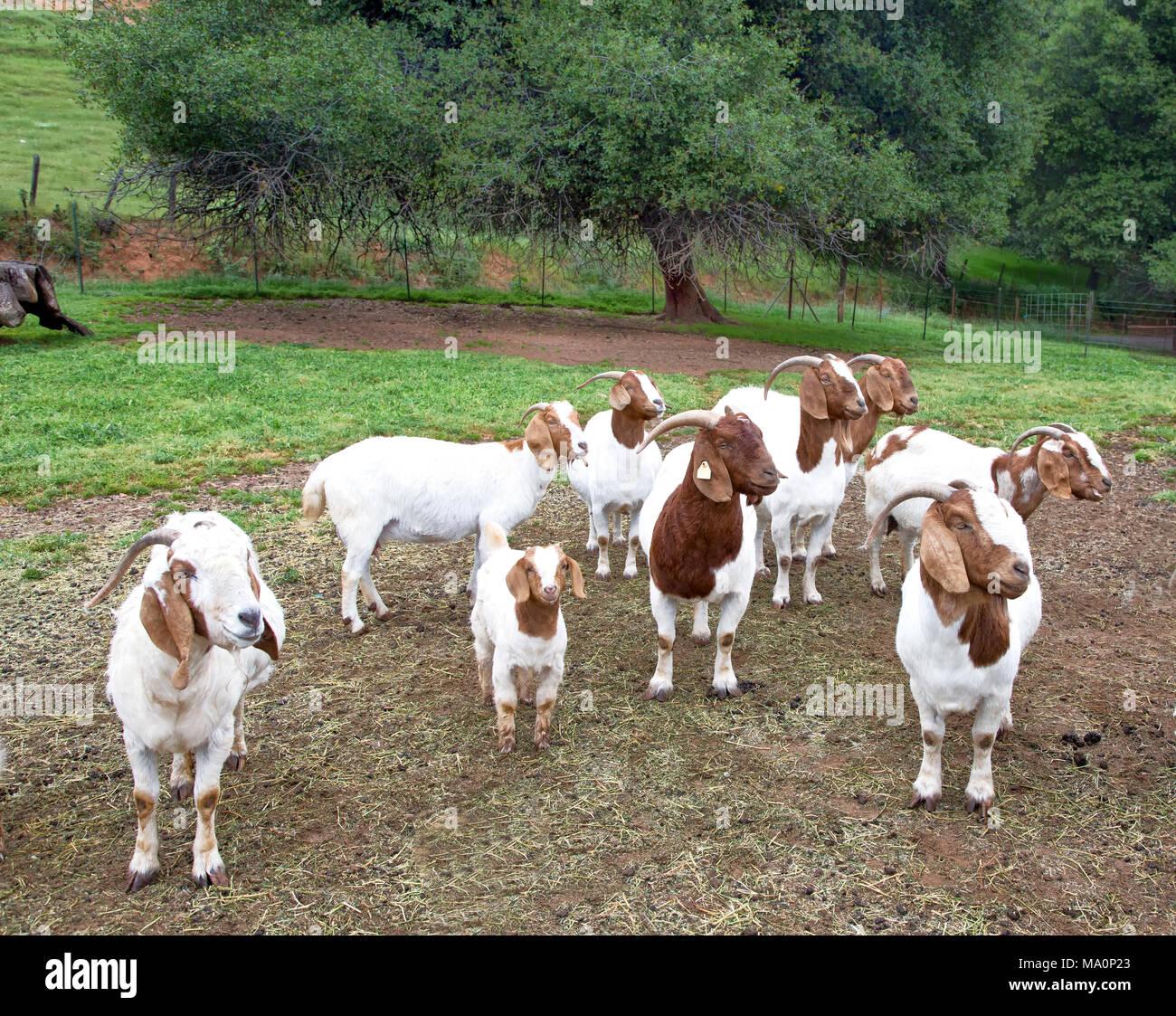 Female Boer Goats  'Capra aegagrus hircus' gathered in area adjoining the barn, waiting to be fed. - Stock Image