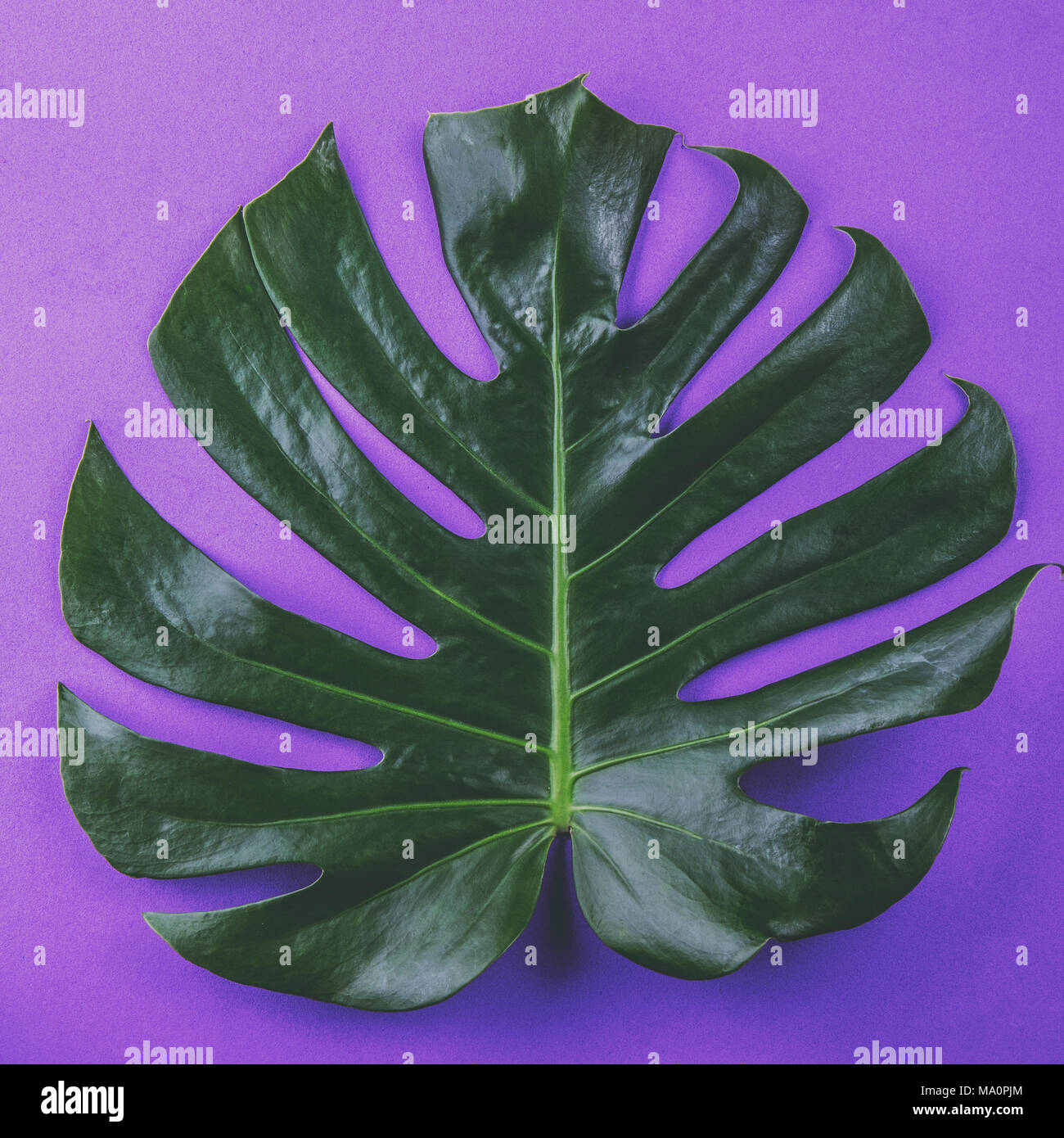 Tropical leave Monstera on purple background. Flat lay, top view. - Stock Image