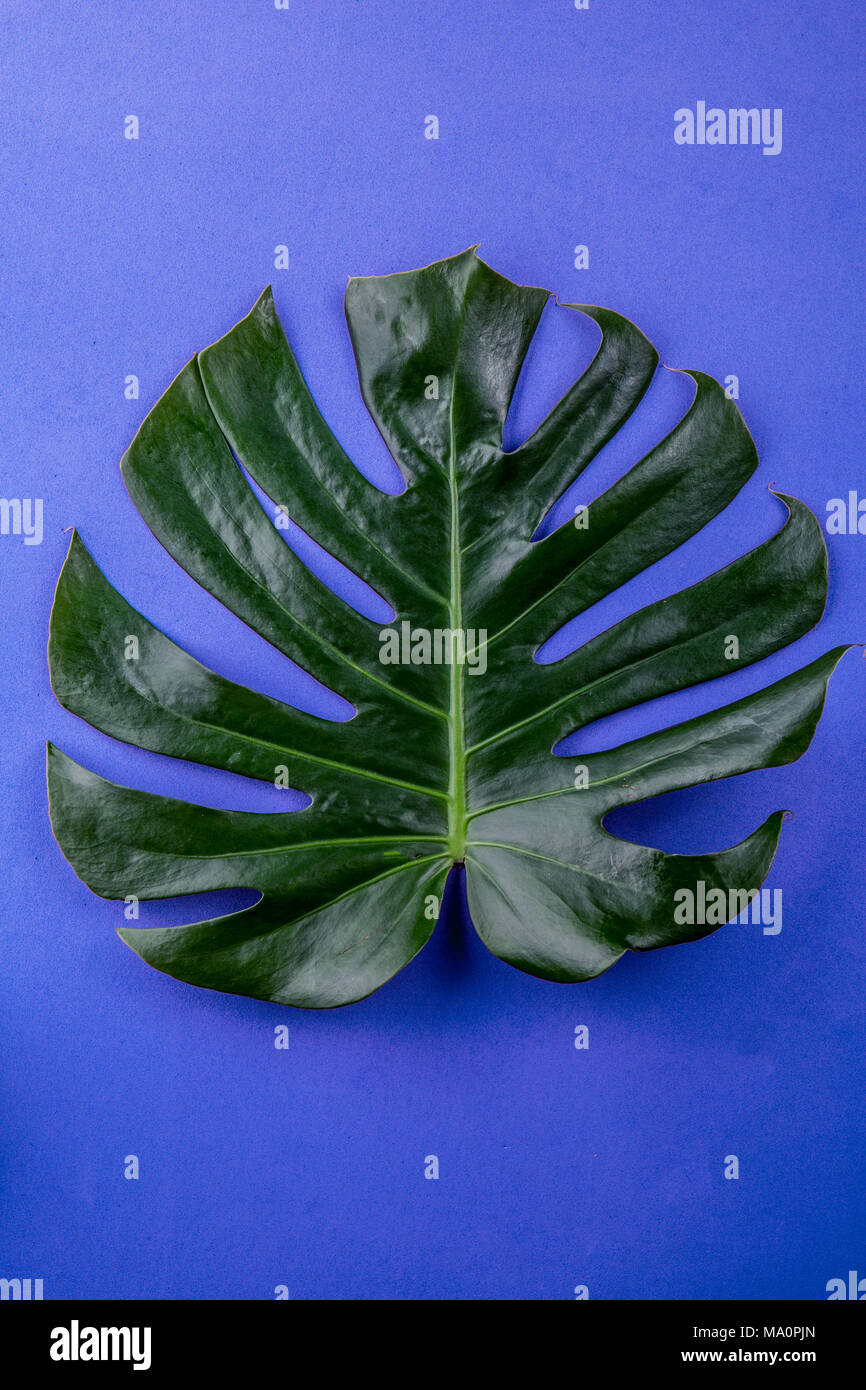 Tropical leave Monstera on blue background. Flat lay, top view. - Stock Image