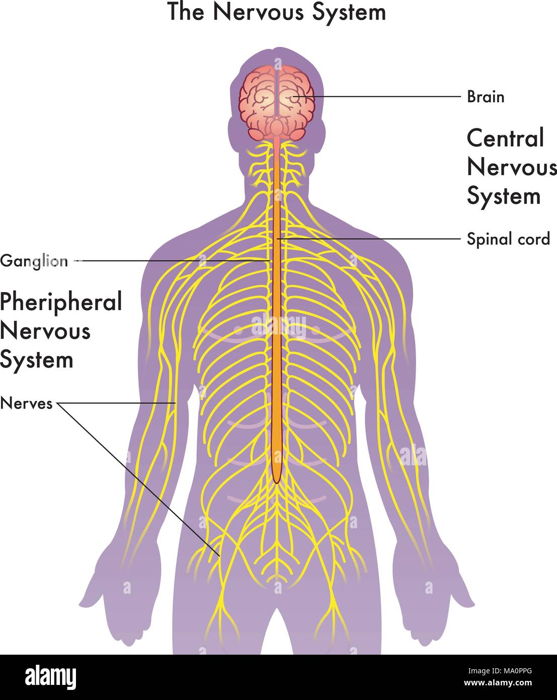 Peripheral Nervous System Drawing Stock Photos & Peripheral Nervous ...