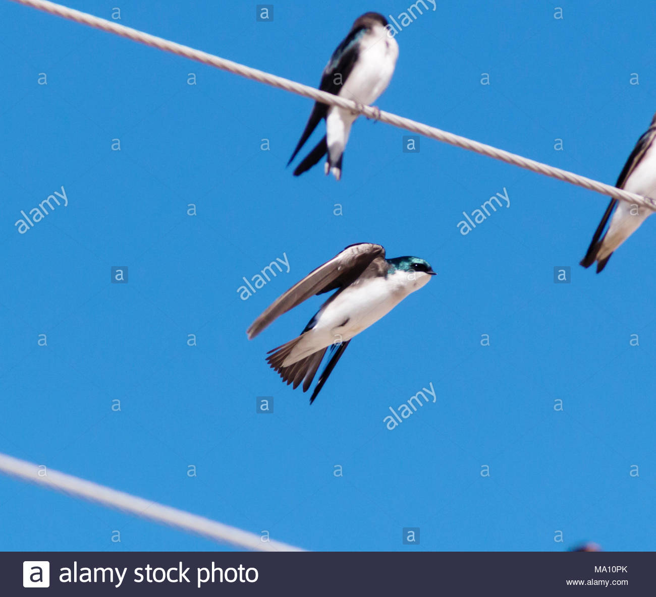 Tree Swallow, Tachycineta bicolor, flying, Arizona US Stock Photo