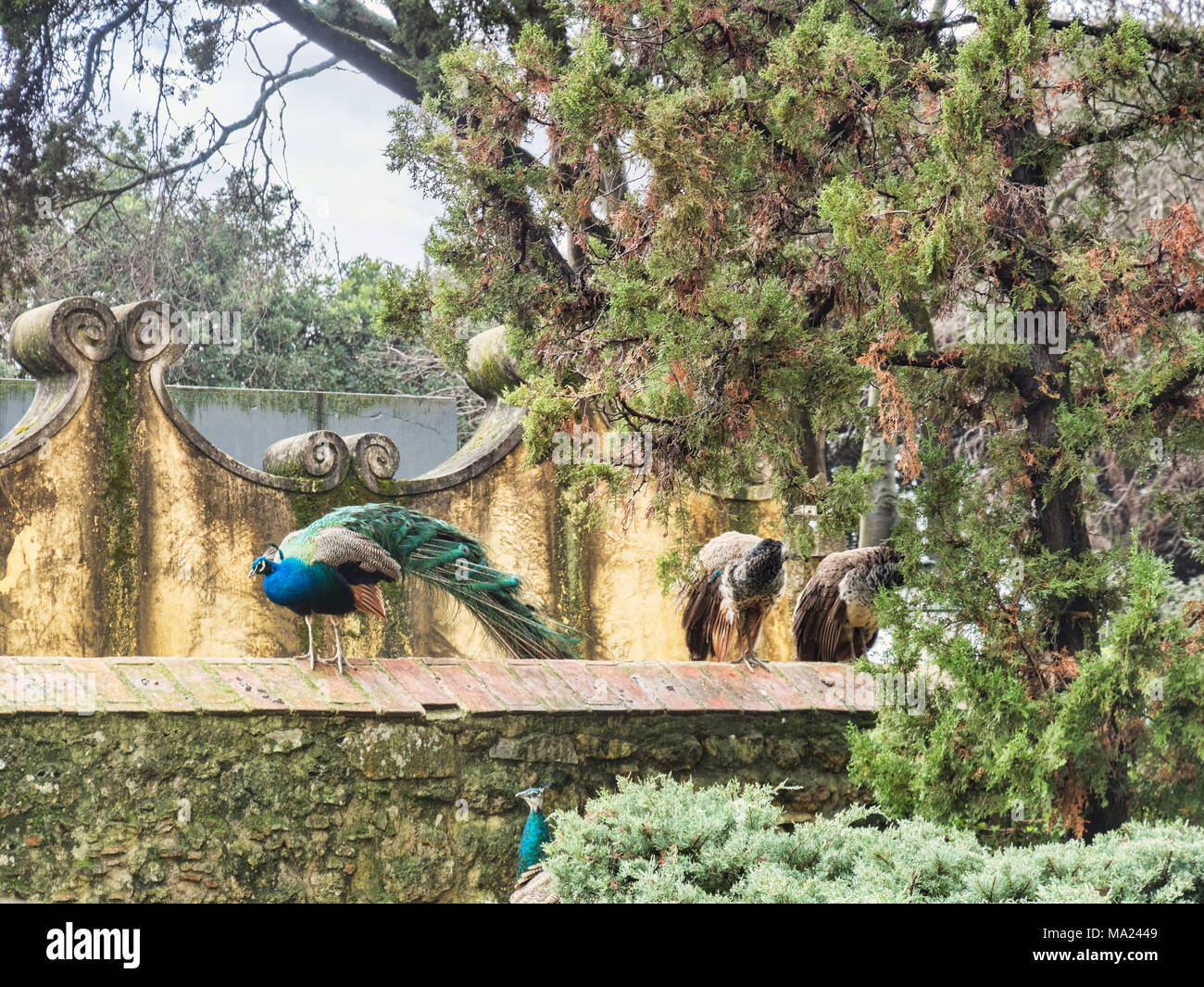 1 March 2018: Lisbon, Portugal - Peacocks and Peahens at the Moorish Castle. - Stock Image