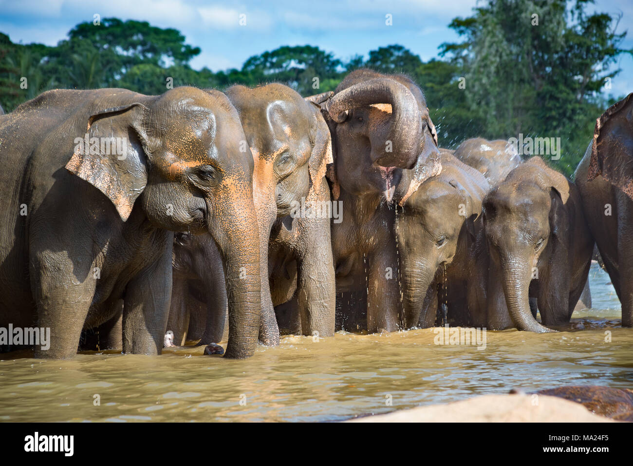 The Sri Lankan elephant is one of three recognized subspecies of the Asian elephant, and is native to Sri Lanka. Elephas maximus is listed as endanger - Stock Image
