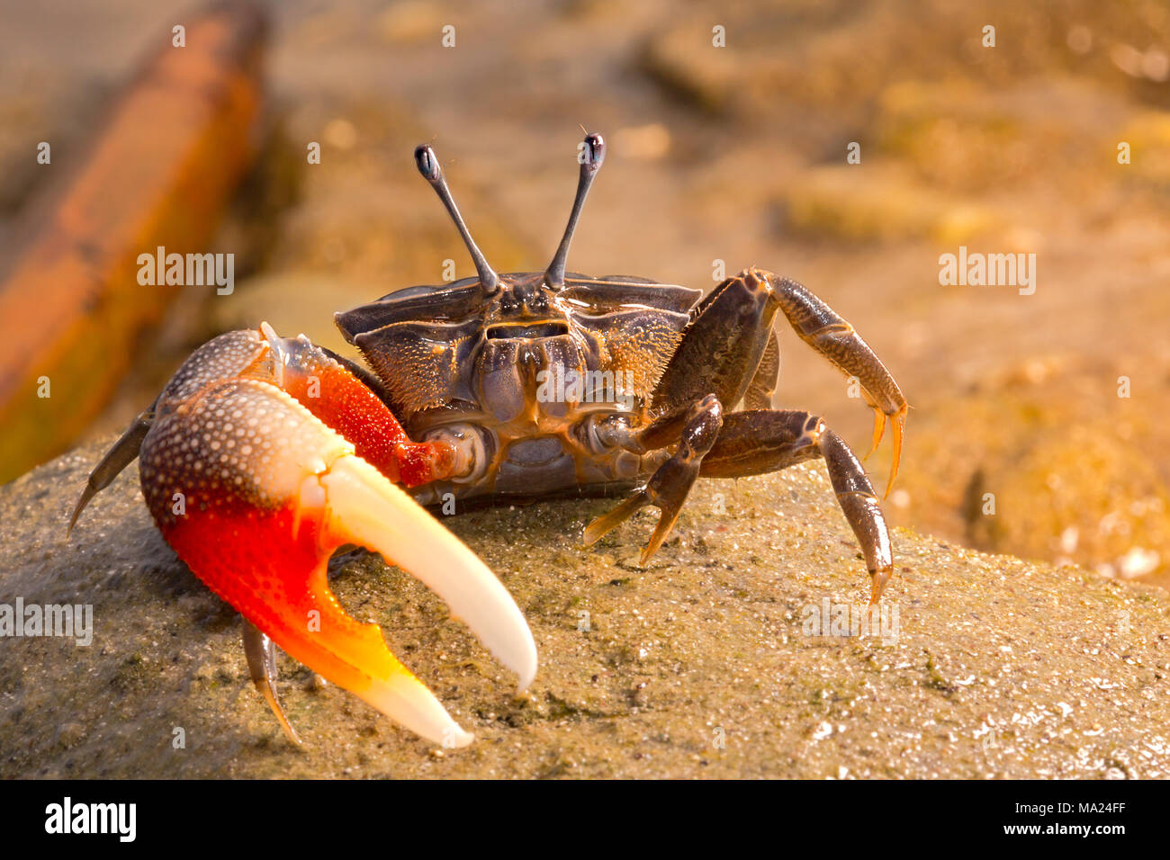 A fiddler crab, Uca sp, on the island of Yap, Micronesia. - Stock Image
