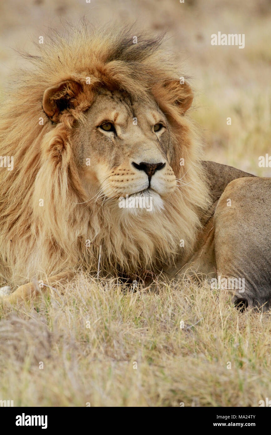 Male lion ((Panthera leo) in the Drakenstein Lion Park, Klapmuts, Western Cape Province, South Africa. - Stock Image